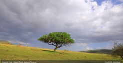 endemic-tree-in-masai-marah-reserve