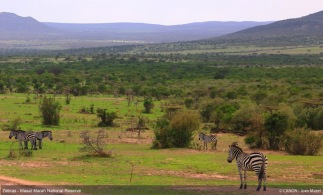group-of-zebras-in-masai-marah-reserve